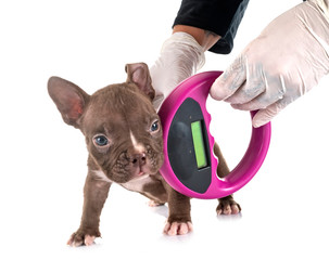 puppy american bully and microchip