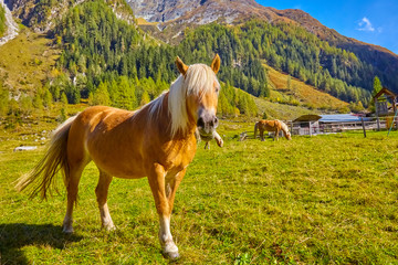 Confident horses in a high valley in Austria.