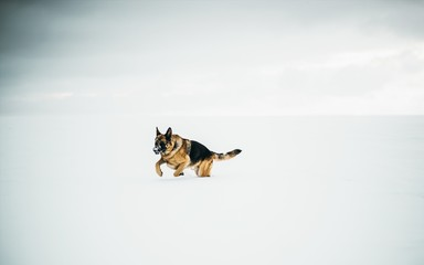 Beautiful shot of a german shepherd running in the snow with a clear background