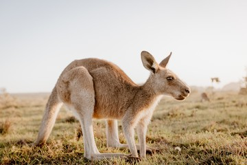 Foto op Aluminium Kangoeroe Closeup of a kangaroo in a dry grassy field with a blurred background