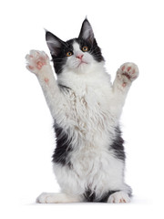 Wall Mural - Cute black and white solid bicolor masked Maine Coon cat kitten, standing on hind paws. Looking up with front paws high in air. Isolated on white background.