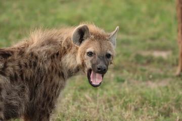 Poster Hyena Spotted hyena yawning, Masai Mara National Park, Kenya.