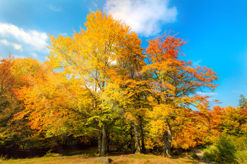 Sunny Autumn landscape - big yellow orange trees in autumnal forest