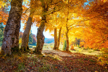 Spoed Foto op Canvas Herfst Golden Autumn forest landscape with big vibrant trees