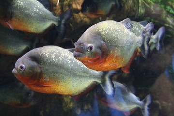 A flock of piranha fish in water.