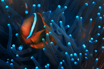Fotobehang Macrofotografie clown fish coral reef / macro underwater scene, view of coral fish, underwater diving