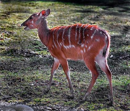 Sitatunga female on the lawn. Latin name - Tragelaphus spekei