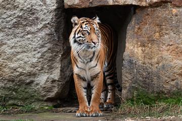 Wall Mural - Sumatran tiger