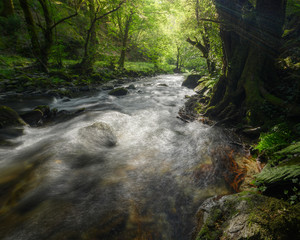 Stream of a River flows through a Green Oak Forest