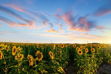 A meadow of sunflowers at sunset approaches at dusk in the Pacific Northwest of USA