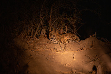 Young leopard cub sitting on top of a termite mound in the evening.