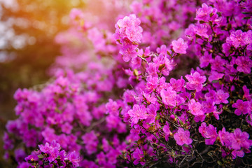 Blurred image of rhododendron bushes, selective focus. Rhododendron flowering in the Altai mountains, close-up. Natural floral background.