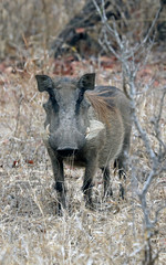 Warthog frontal view