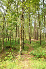 Birch Forest in Kalmthout, nature reserve in Belgium