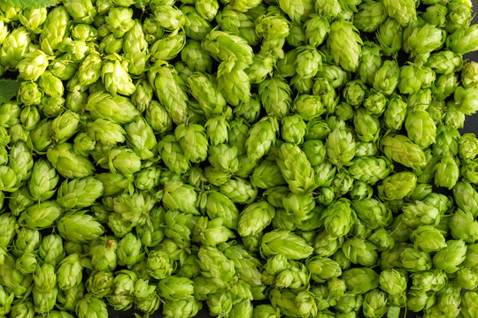 Green ripe hop cones for brewery and bakery background pattern.