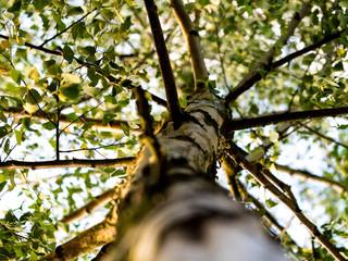 Zielona brzoza latem