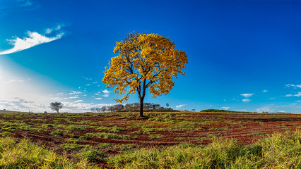Panoramic photo of Golden trumpet tree, aka Yellow Ipe, isolated on harvested sugar cane field in sunny morning with blue sky. Tabebuia Alba tree,  aka Handroanthus albus, isolated on field