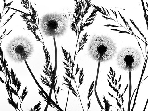 Silhouette of dandelion seed heads and grass