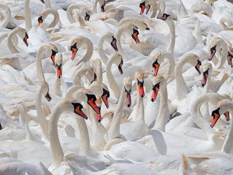 Flock of mute swans