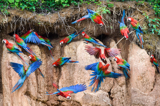 Flock of red and green macaws at clay lick