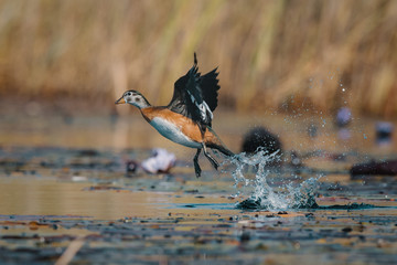 Close up view of African pygmy goose taking flight