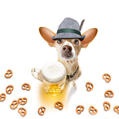 Keuken foto achterwand Crazy dog bavarian beer chihuahua dog