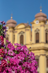 Timisoara Union Square Pink Flowers with St. George's Roman Catholic Cathedral in Background