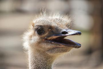 Papiers peints Autruche African ostrich portrait