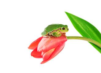 Green tree frog sitting on tulip flower on white background