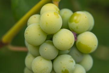 Owoce winogrona.