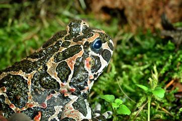 Fototapete - European frog in terrarium