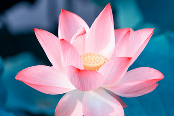 Garden Poster Lotus flower lotus flower plants with green leaves in lake