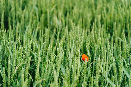 Close shot of a red flower in a sweetgrass field with a blurred background