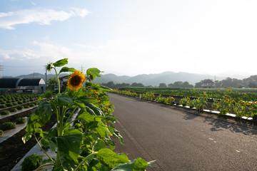 向日葵と田舎の道