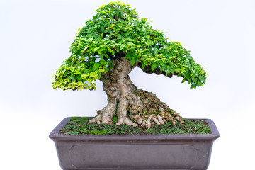 Fototapeten Bonsai Green old bonsai tree isolated on white background in a pot plant create beautiful art in nature. All to say in human life must be strong rise, patience overcome all challenges to live good and usefu