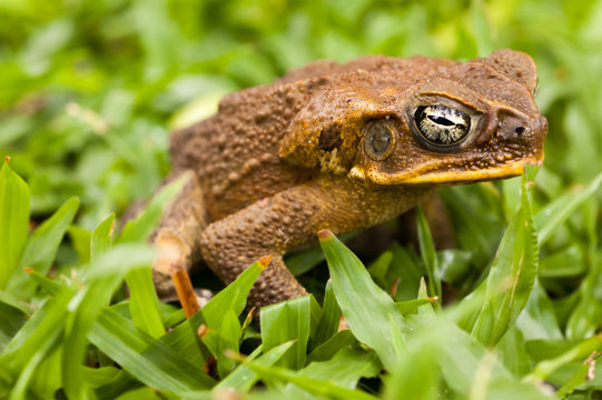 Cane toad in the grass. Dauin, Philippines