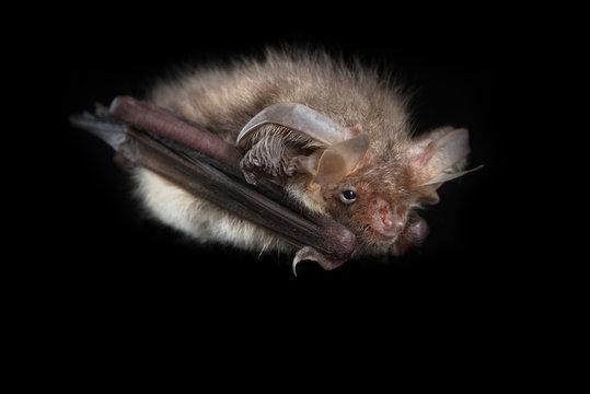 Brown long-eared bat black background