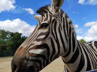 Take a picture of the zebra on the car while feeding and the blue sky