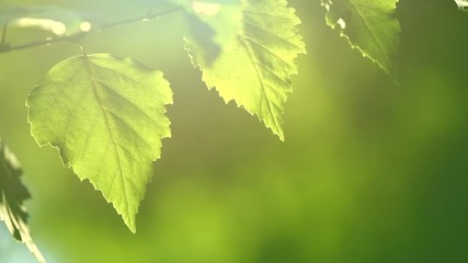 Wall Mural - Nature background. Sun shining through the birch tree green leaves. Blurred abstract bokeh with sun flare. Environment backdrop. Slow motion 4K UHD video footage. 3840X2160