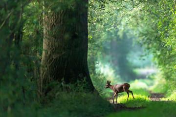 Deurstickers Ree Roe deer crosses a summer forest path.