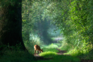 In de dag Ree Roe deer grazing on a summer forest path.