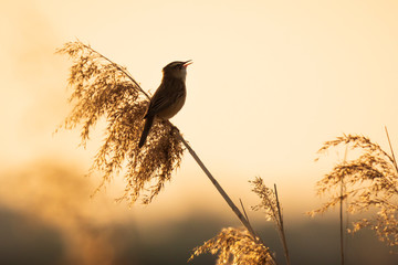 Poster de jardin Oiseau Eurasian reed warbler Acrocephalus scirpaceus bird singing in reeds during sunrise.