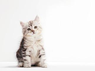 Siberian cat, a kitten portrait on white background.