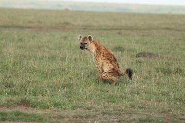 Deurstickers Hyena Spotted hyena pooping, Masai Mara National Park, Kenya.