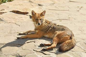 Golden jackal (Canis aureus) on rock