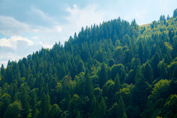 Beautiful summer landscape - spruces on hills, cloudy sky at bright sunny day. Carpathian...