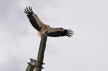 Ausgebreitete Flügel eines Storchs