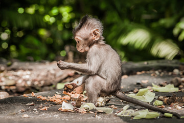 Foto op Canvas Aap Photo of baby monkey (Macaca mulatta) in Sacred Monkey Forest