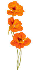 Foto auf AluDibond Blumen nasturtium flower isolated