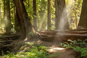 Keuken foto achterwand Bos in mist Coastal fog drifts through a dense redwood grove in Northern California